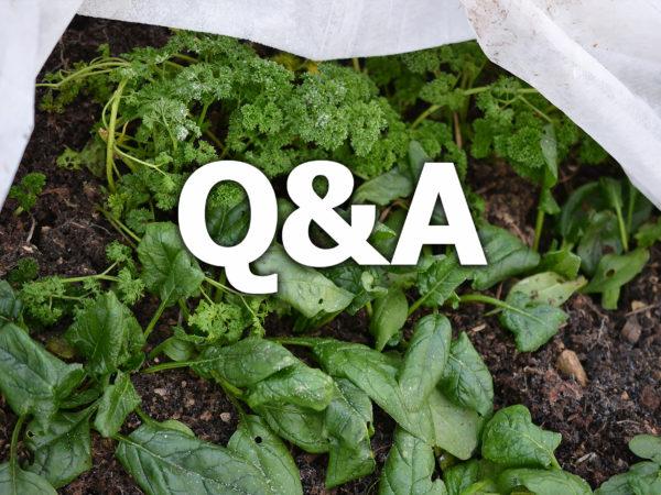 Texten Q&A står på ett foto av perislja och spenat under en fiberduk.