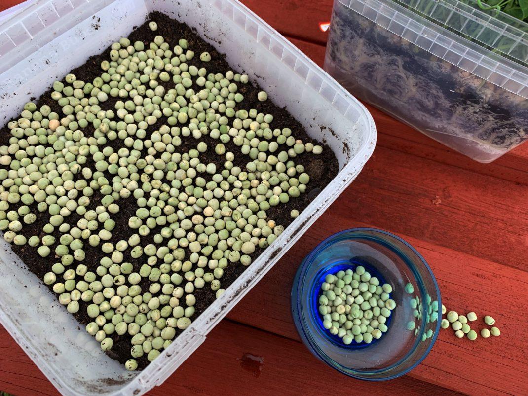 En sådd av ärter sedd ovanifrån med gröna ärter som ligger tätt på jorden. Grow pea shoots indoors, sowing seen from above.