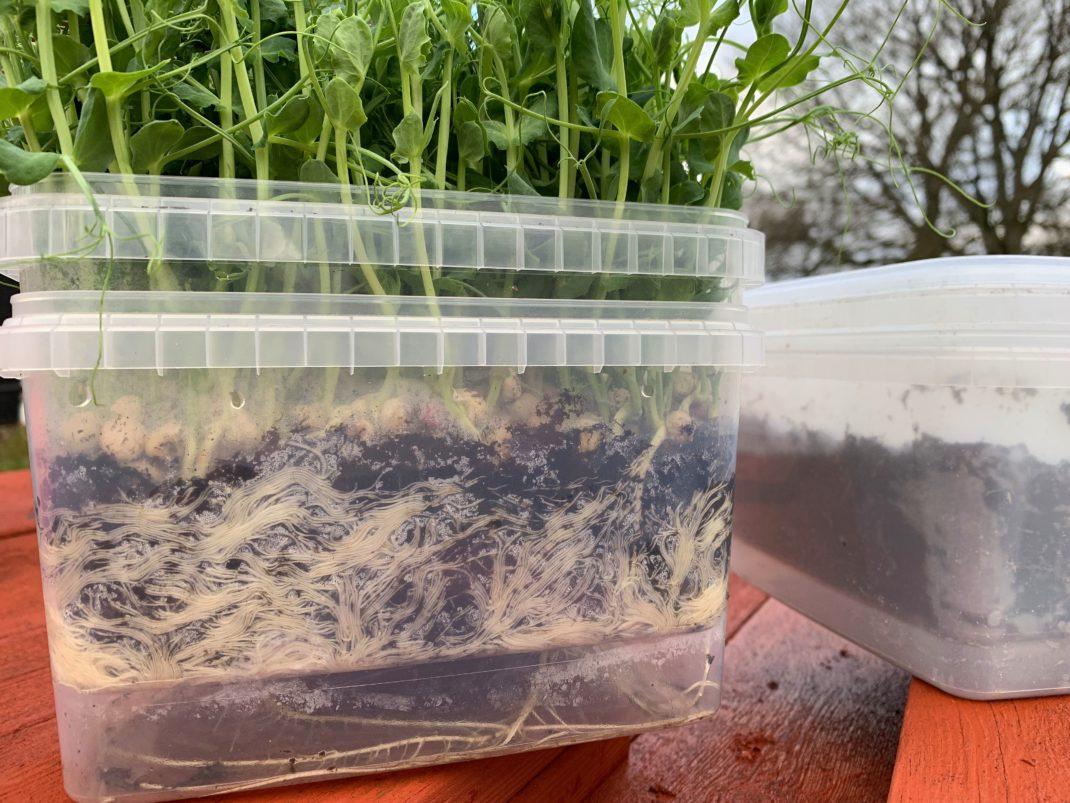 Närbild på en plastlåda med massa rötter inuti och gröna ärtskott upptill.