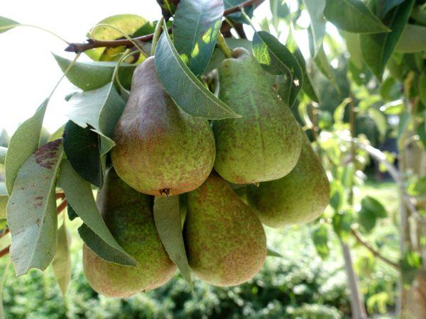 En klase med päron i grönt.