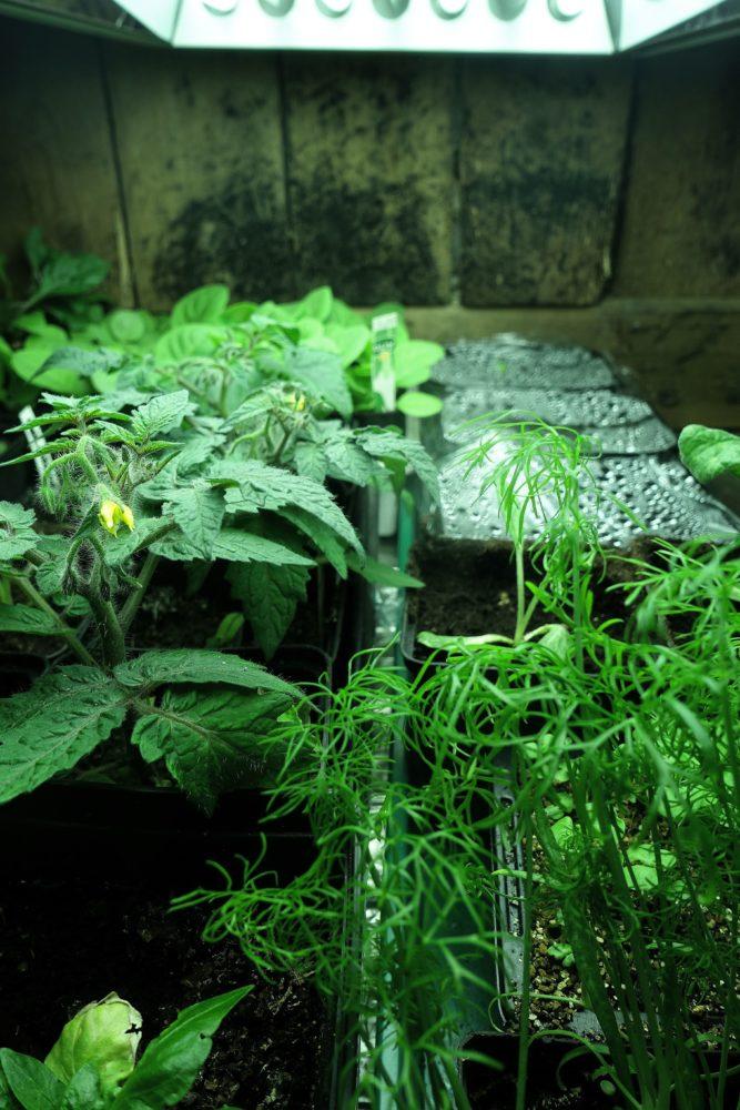 Inomhusodlade grönsaksplantor under extrabelysning.