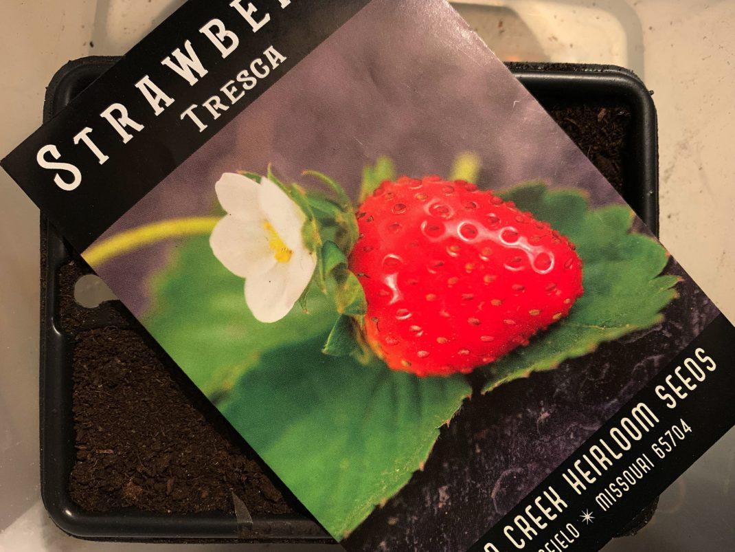 En fröpåse med jordgubbe på ligger på ett litet tråg med jord.