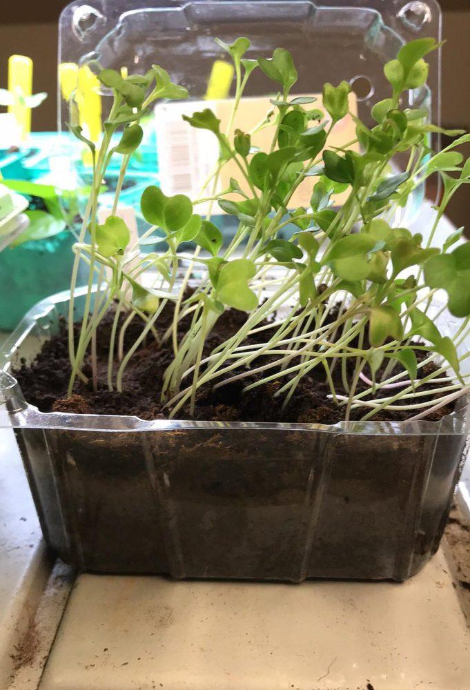 Ett såtråg fullproppat med taniga små plantor. Leggy plants in a trough.