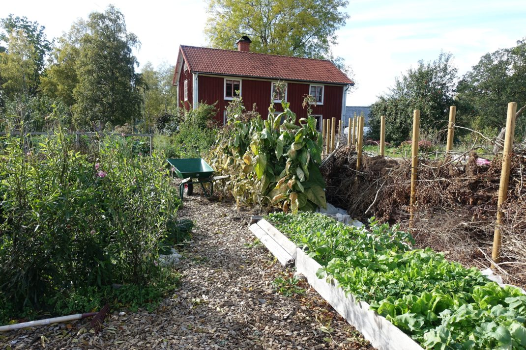 Bild från höstlig köksträdgård där en lång odlingsbädd är full av grönsaker bredvid ett vackert staket av gamla grenar.
