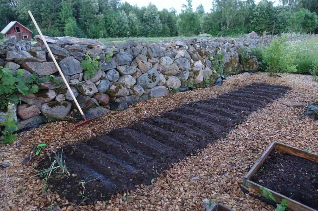 En bädd med fin mörk jord och massor av täta rader uppdragna, en stenmur i bakgrunden.