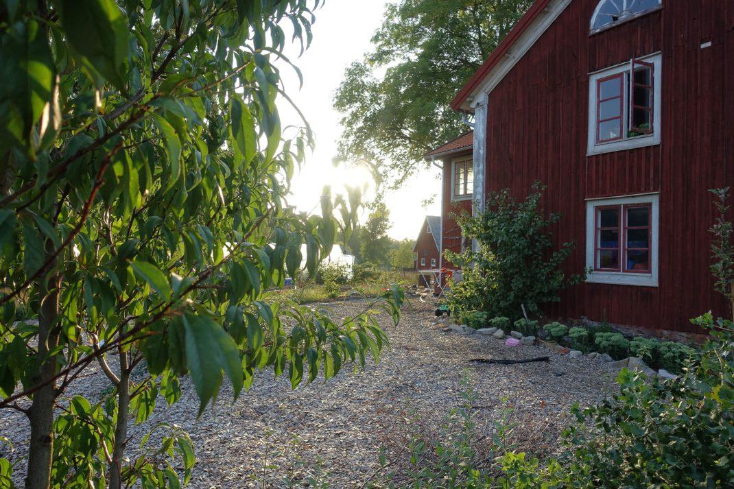 En bild från trädgården i solnedgång med ett grönt träd i förgrunden - ett persikoträd.