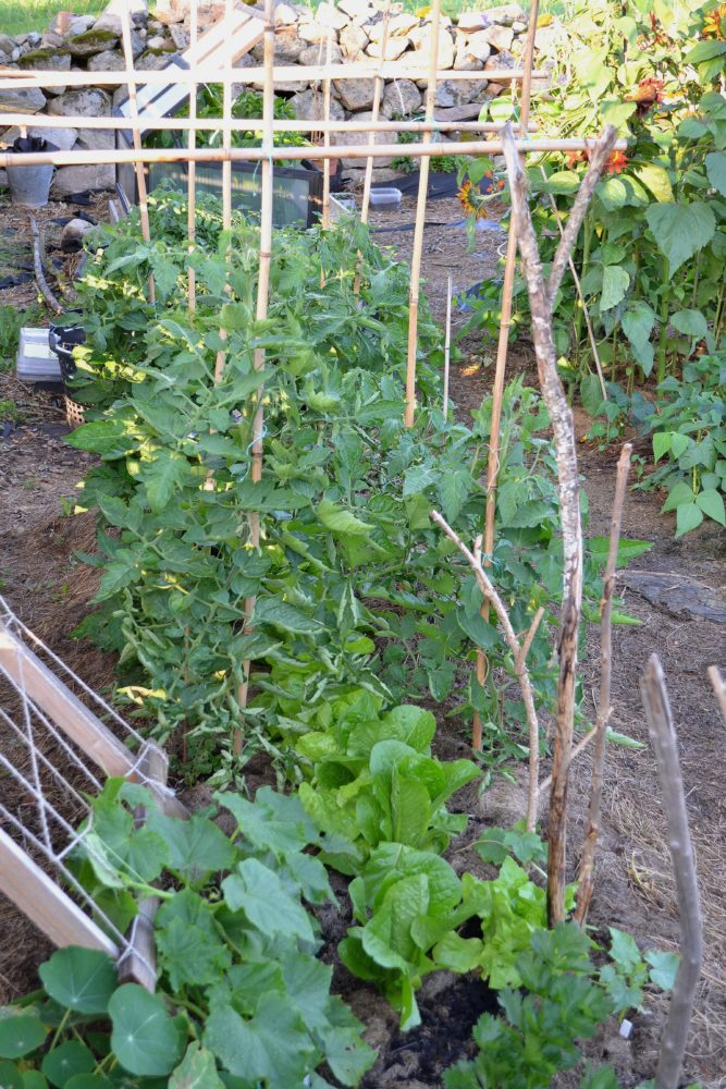 Grönsaker står sida vid sida i en bädd med jord.