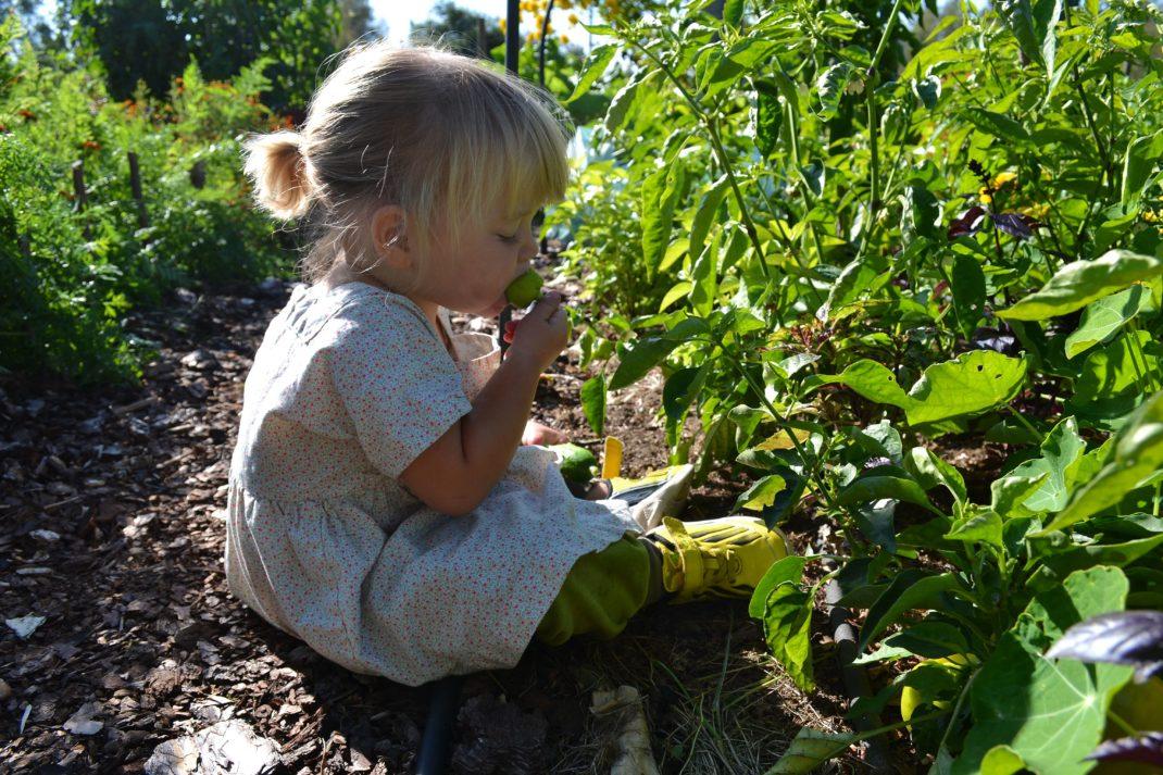 Ett litet barn sitter och äter små paprikor i köksträdgården.