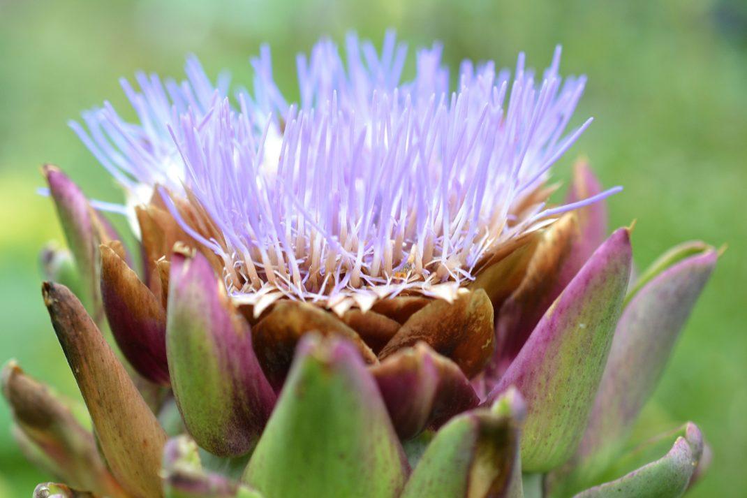 En vacker lila blomma som slår ut ur en taggig stor tistelknopp - kronärtskocka.
