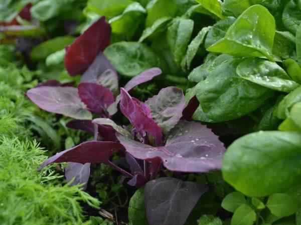 Röda vackra blad mellan gröna blad i en tät plantering.