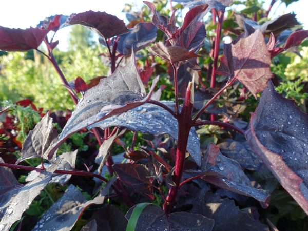En vackert purpurfärgad planta med stora blad.
