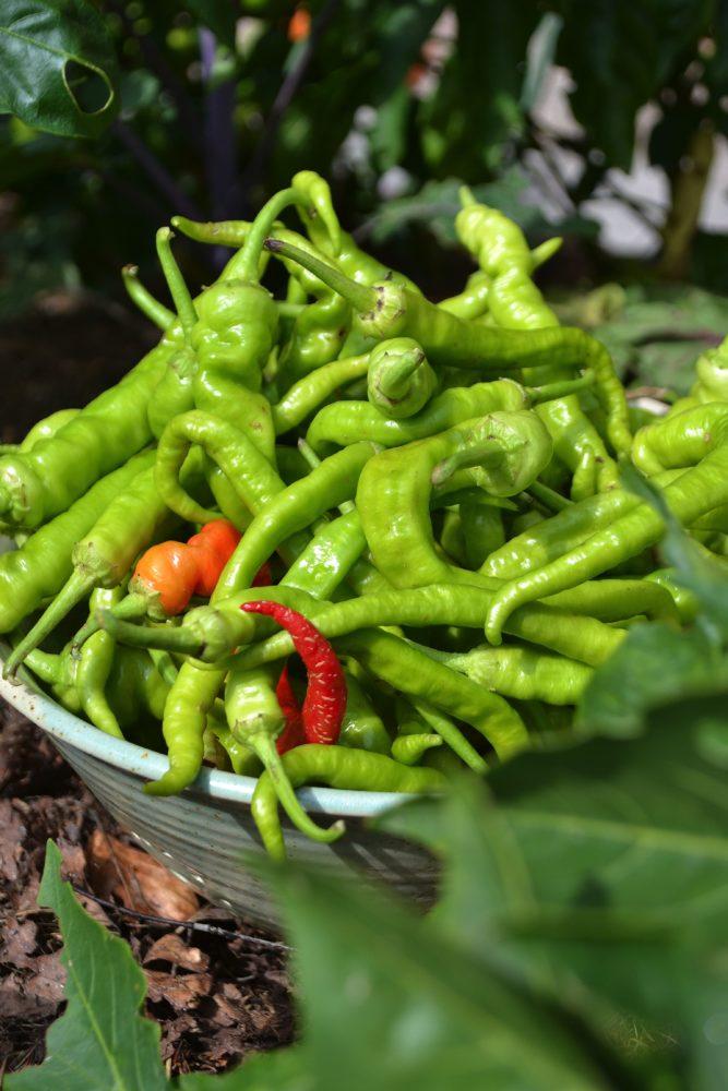 En skål med många gröna smala paprikafrukter.