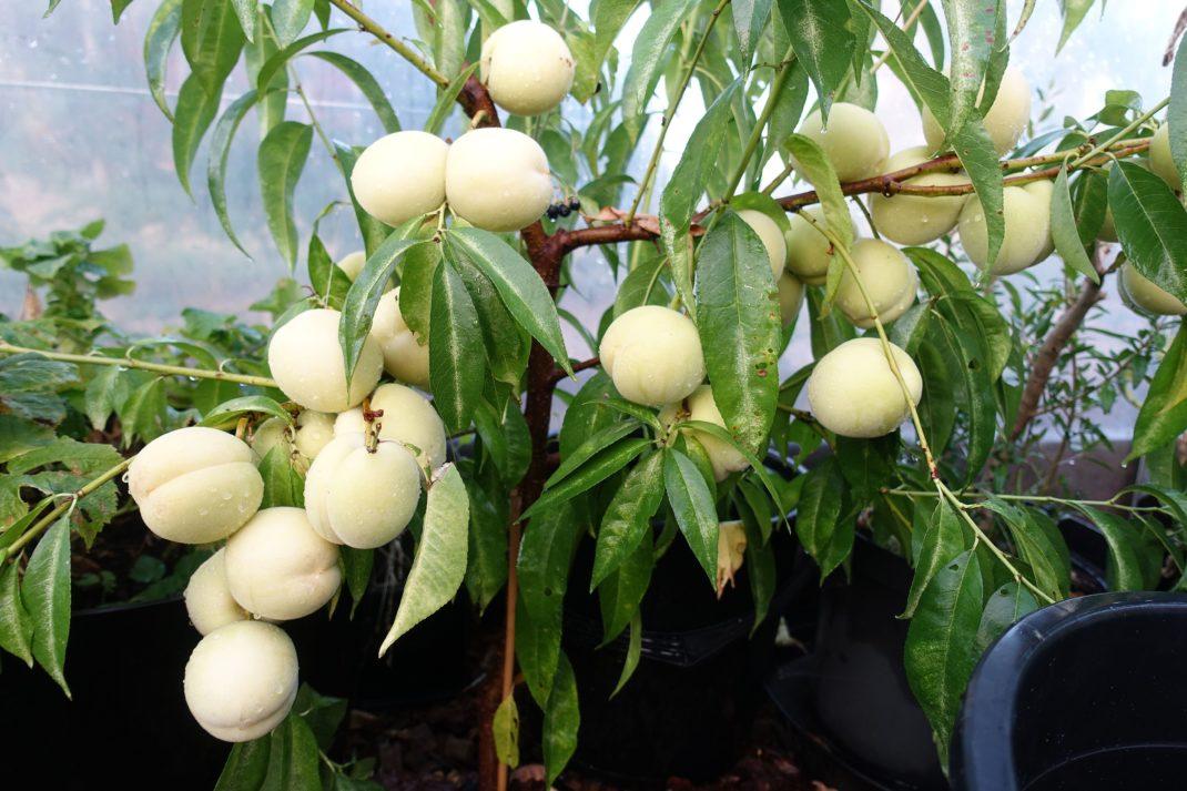 Ett litet träd fullt med små vita frukter. Peach varieties, a tree with white fruits.