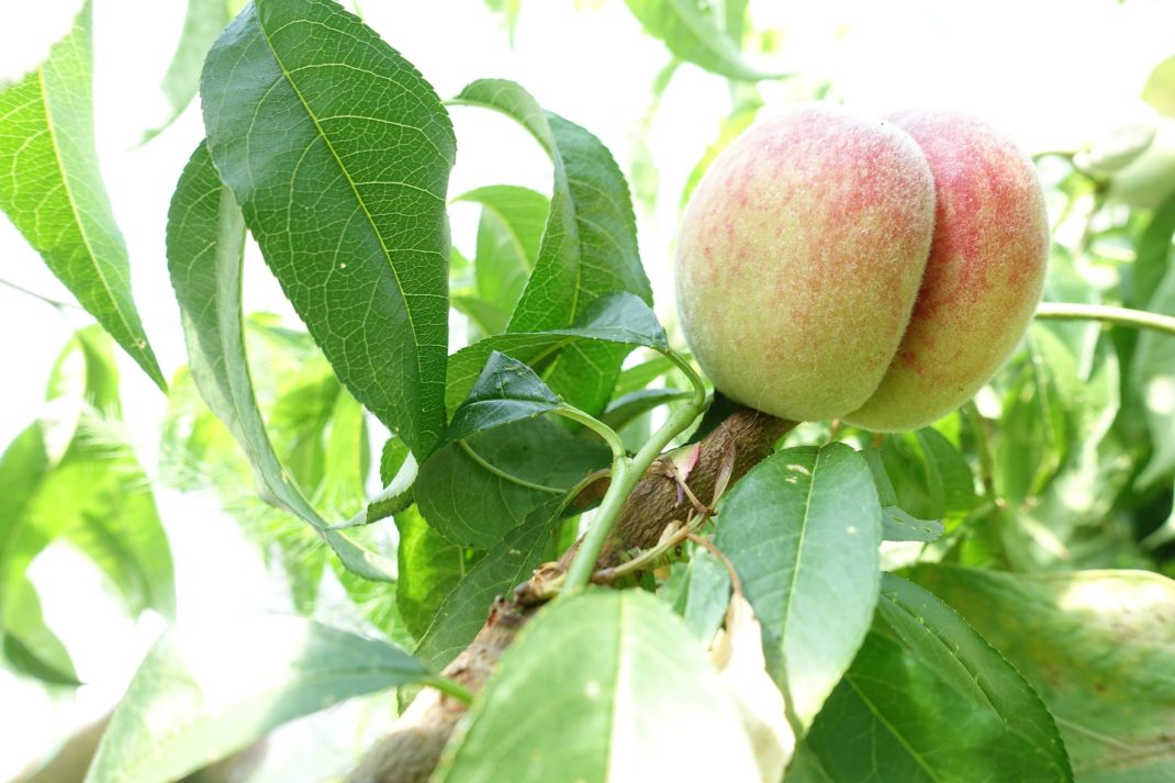 En vacker persika växer på ett träd med smala gröna blad. Peach varieties, a beautiful peach on the tree.
