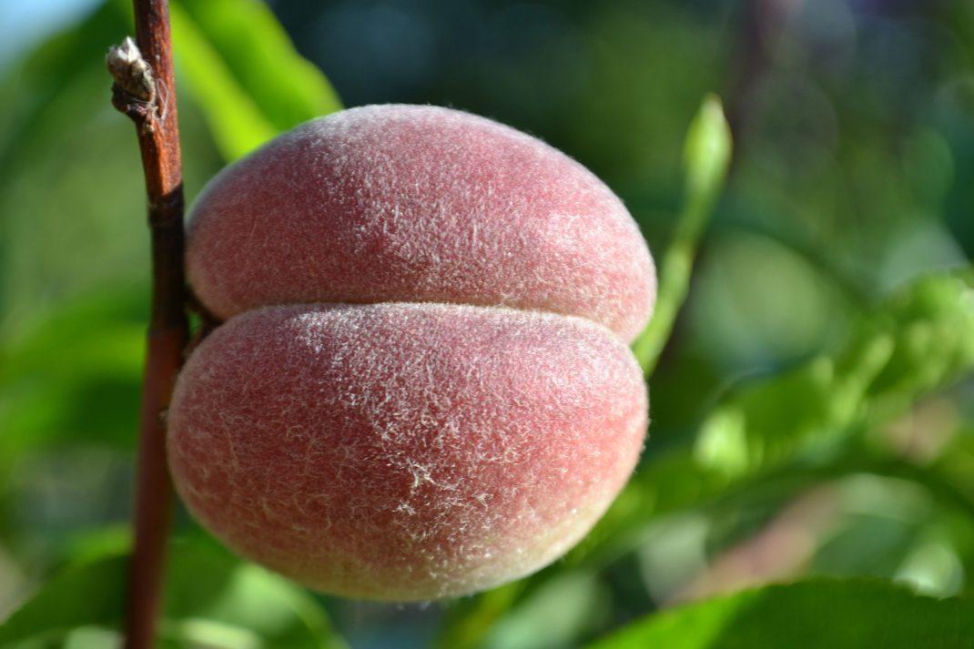 Närbild på en persika med rött och lite ludet skal.