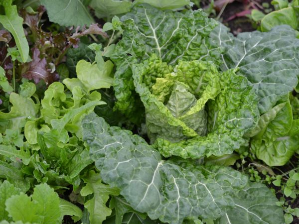 Ett läckert grönt huvud av savoykål med buckliga blad.