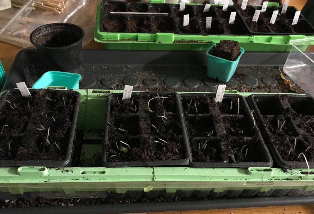 Bild på ett såtråg med mycket jord och små stjälkar som letar sig upp ur den. Leggy plants, a trough with plenty of soil and stalks growing.