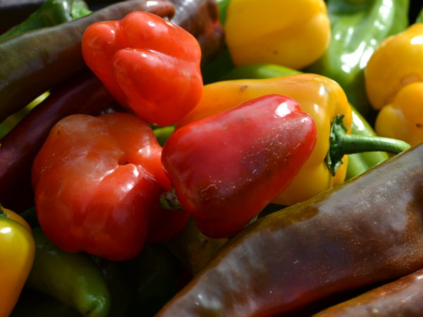I månadens sådd i februari sår vi paprika i odlingspluggar.