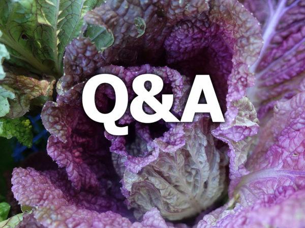 Närbild av lila salladskål med texten QA på.