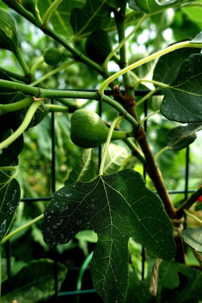 Närbild på grenar med bladverk och ett grönt fikon emellan bladen.