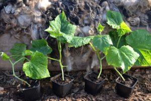 Fyra små gurkplantor fotograferade på rad, i svarta små krukor.