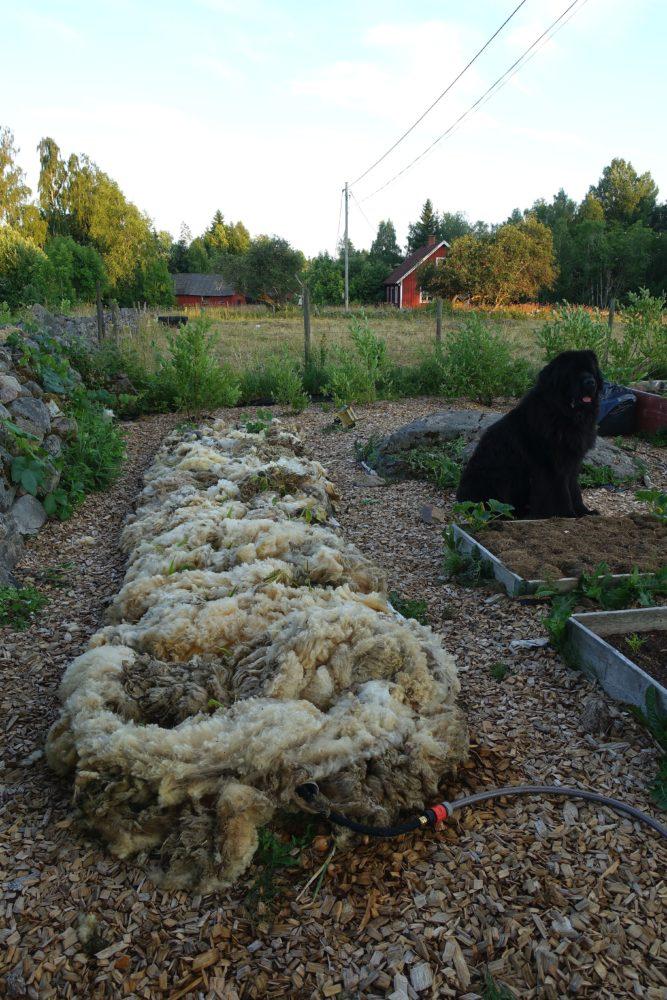 Bild från trädgården med ull ovanpå bädden och en stor svart hund som sitter bredvid.