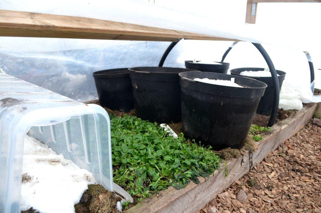 Tunnelväxthuset har öppnats och visar en odlingsyta med små gröna blad och en del krukor med jord.