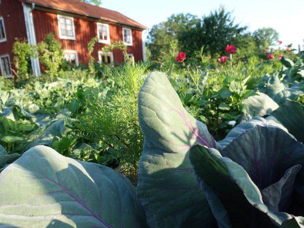 Kål, sommarblommor och andra växter i en grön och frodig köksträdgård framför ett rödmålat trähus.