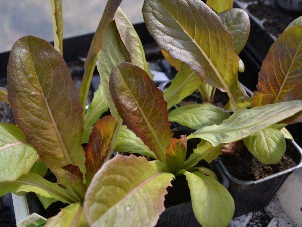 Små fina plantor av gröna och roströda salladsplantor.