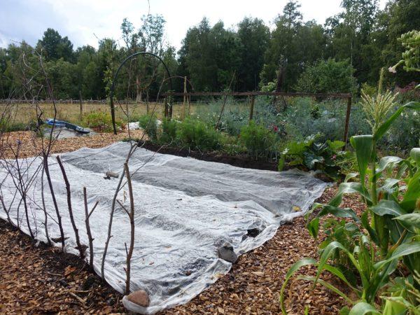 En ny sådd har gjorts och täckts med fiberduk i Skillnadens trädgård.