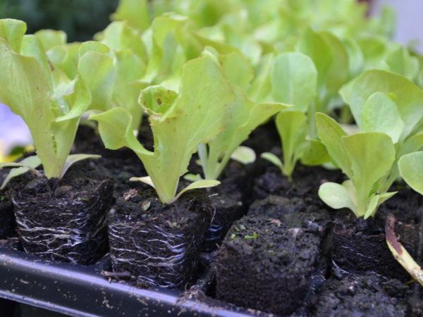 Fina små plantor av sallat har puttats upp ur ett pluggbrätte.