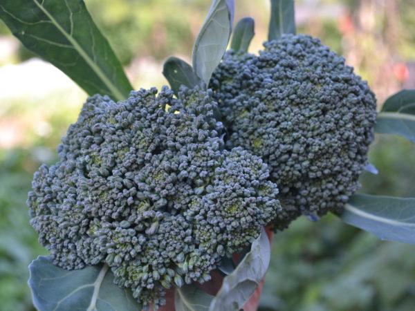 Närbild av två fina broccolihuvuden.