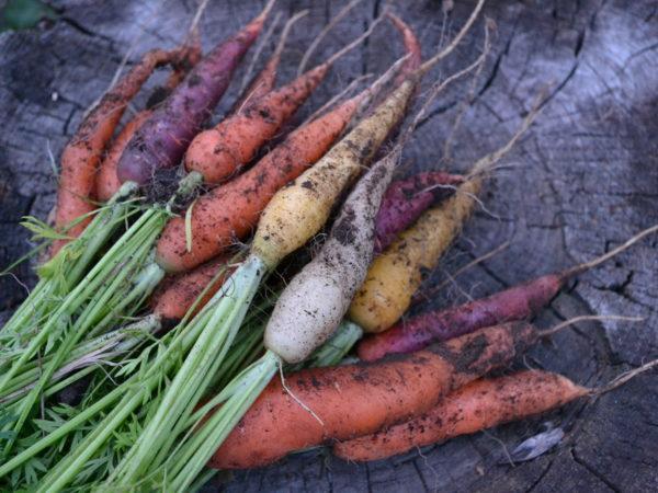 Ett knippe jordiga morötter i olika färger.