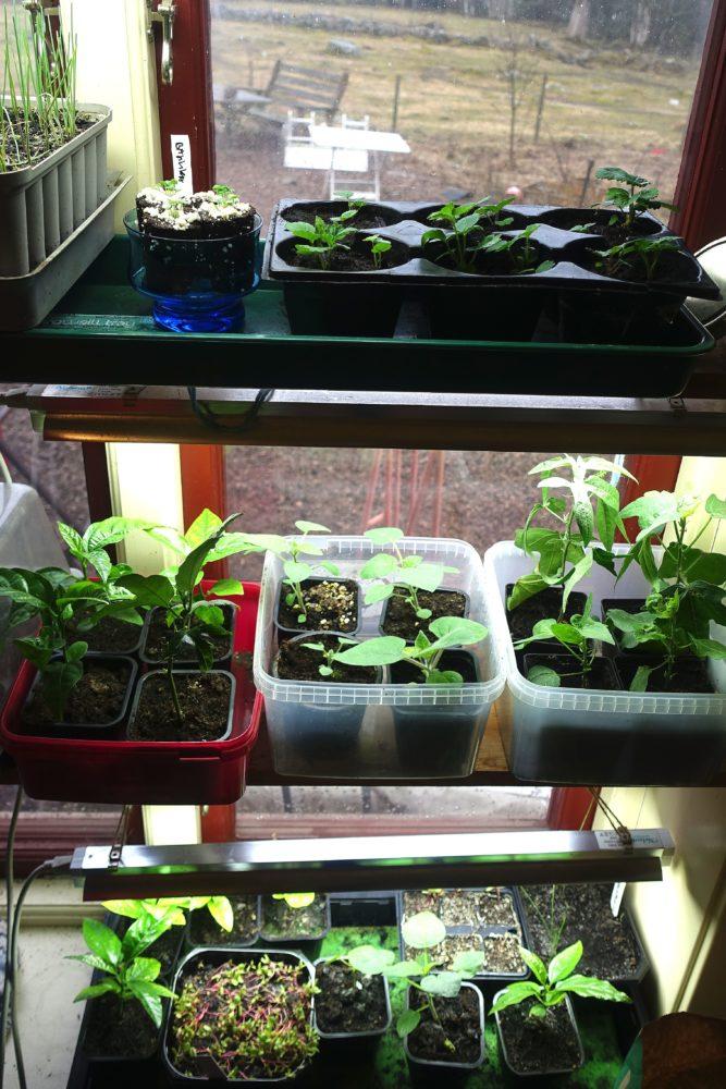 Ett fönster med massor av plantor i under korta lysrör.