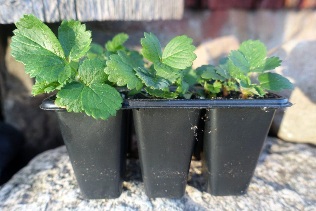 Bild på ett tråg med 3 x 2 pluggar i svart plast och små jordgubbsplantor i.
