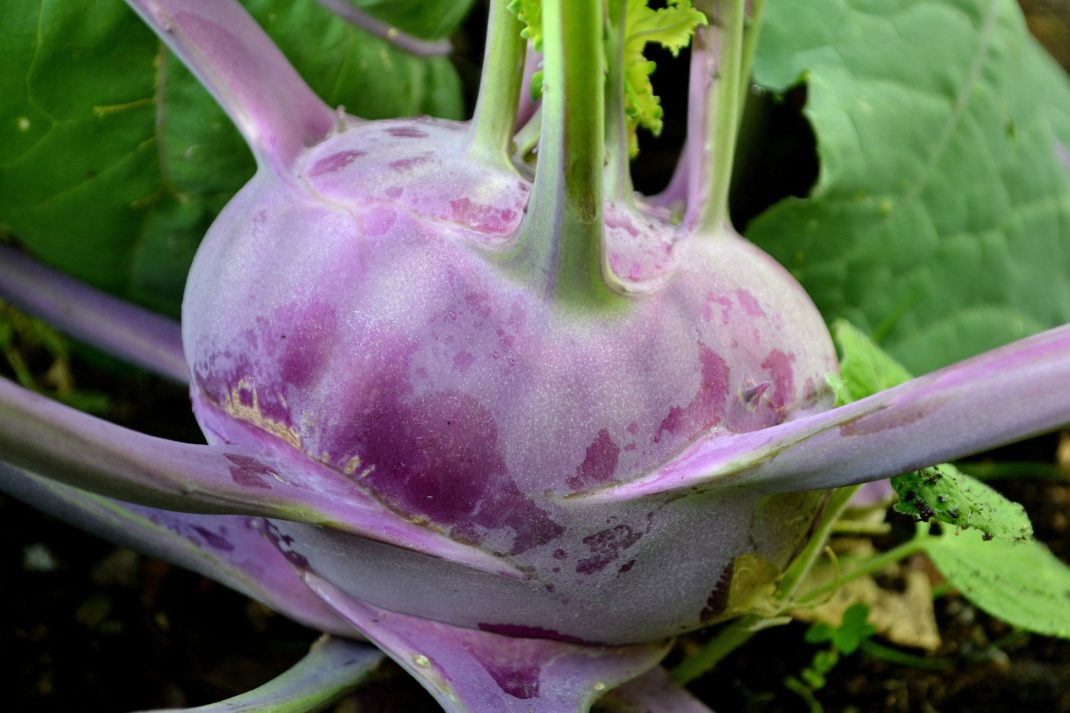 En vacker lila kålrabbi, en plattrund boll med stjälkar som växer ut längs klumpen.