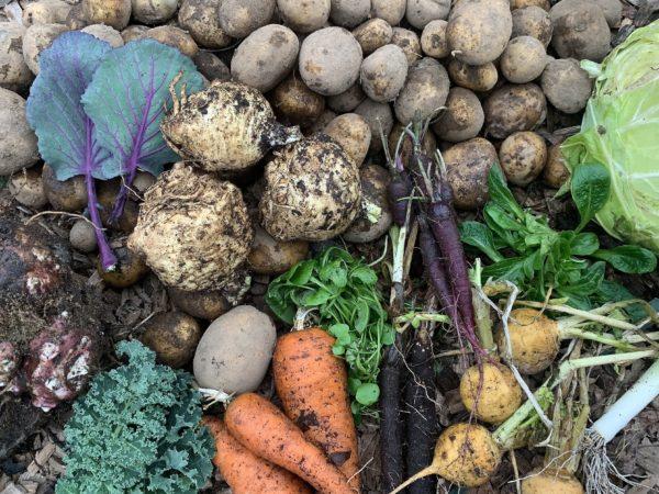 Skördebild på rotsaker, kål och färska blad som ligger på marken.