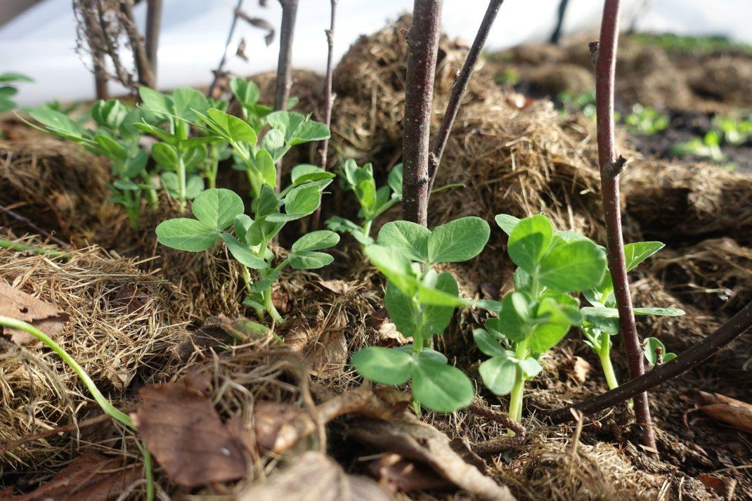 Närbild på små plantor av sockerärter som växer i jord som är täckt av organiskt material.