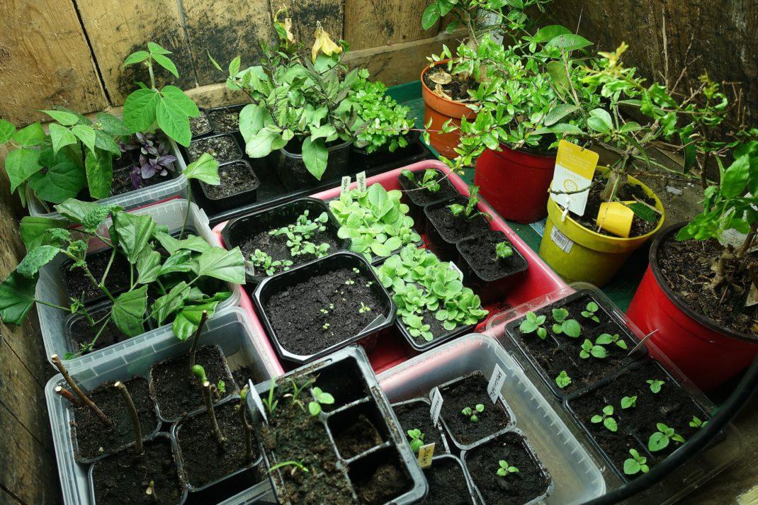 Ett utrymme fullproppat med små krukor där det växer saker.
