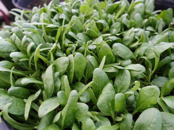 En tät matta av gröna små blad.
