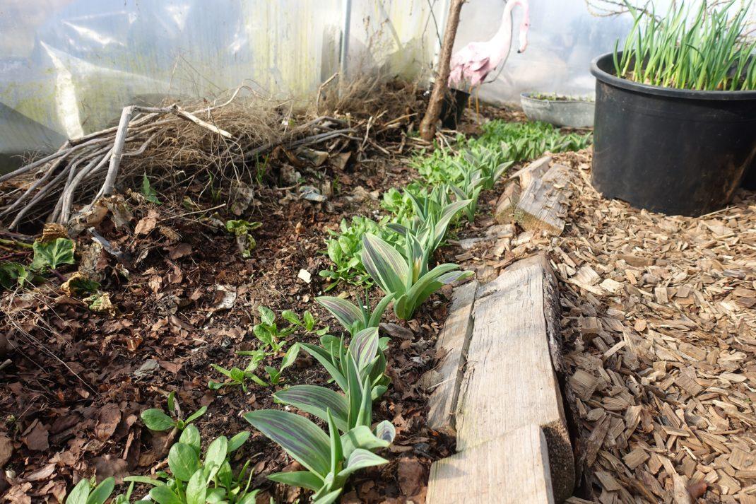 Bild på marken där det spirar gröna blad i en odlingsbädd.