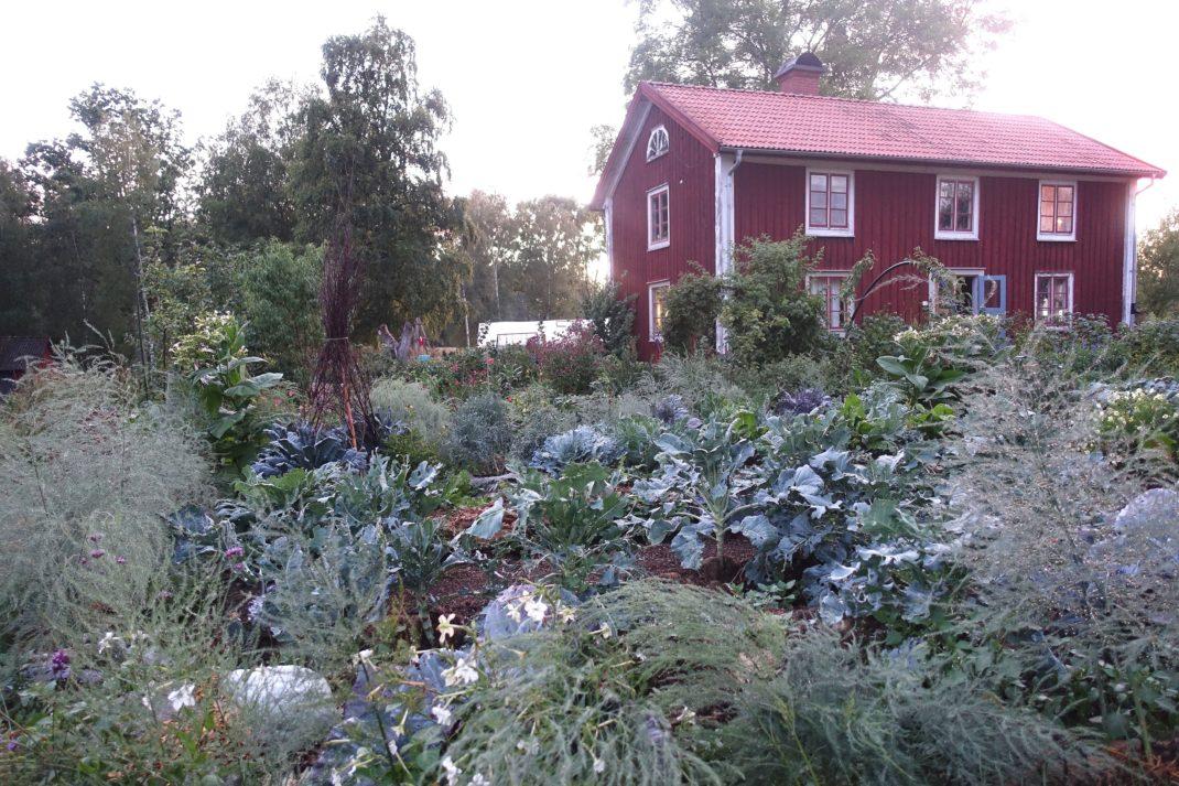 En uppvuxen och frodig köksträdgård med ett rött bostadshus mitt i.