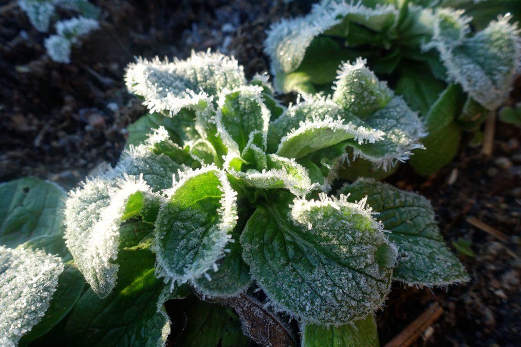 En liten bladrosett med kraftiga iskristaller på.