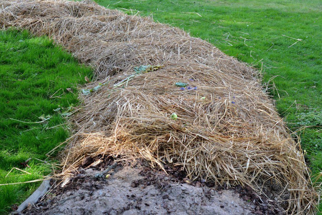 Närbild på en odlingsbädd täckt av halm.
