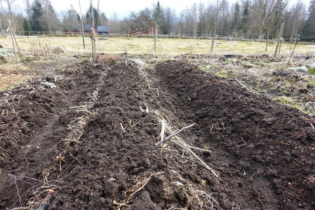 En köksträdgård med upphöjda bäddar av bar jord.