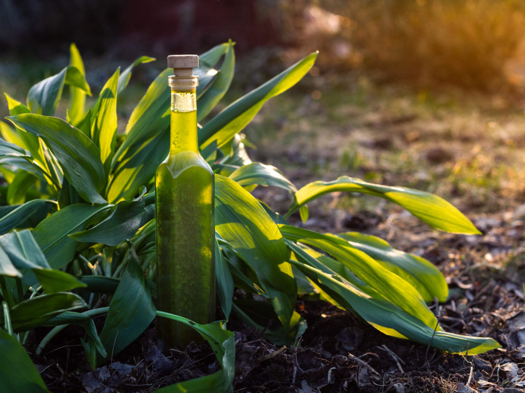 En flaska ramslöksolja vid en fin planta.