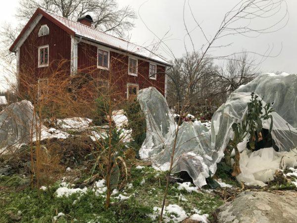 Kål och annat är täckt med nät och snö ligger på marken i trädgården.