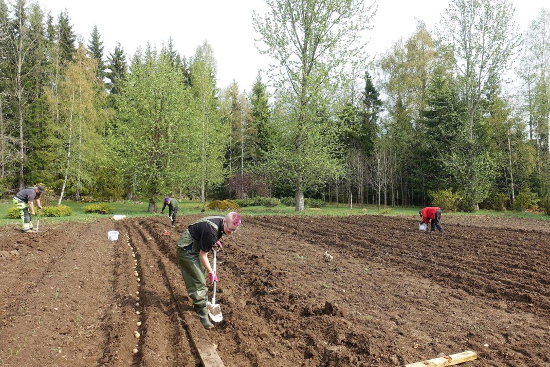 En plätt jord med människor som jobbar böjda med hackor och spadar.
