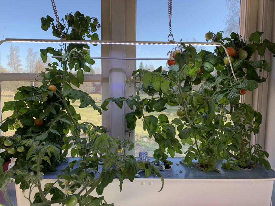 Bild på fönster med en vit plastlåda med lock och sex tomatplantor som växer i den.
