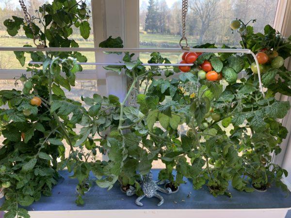 Fönstret med odlingsbehållaren fotograferad på närmare håll.